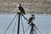 Ospreys, Wellfleet Harbor - 8/14/2010 - IMG_7430dK