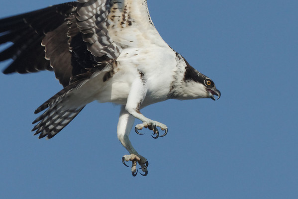 Fair amount of activity early this morning - with the same two ospreys making brief visits to the nest then off again. 8/29/2010 - IMG_8040d2K2