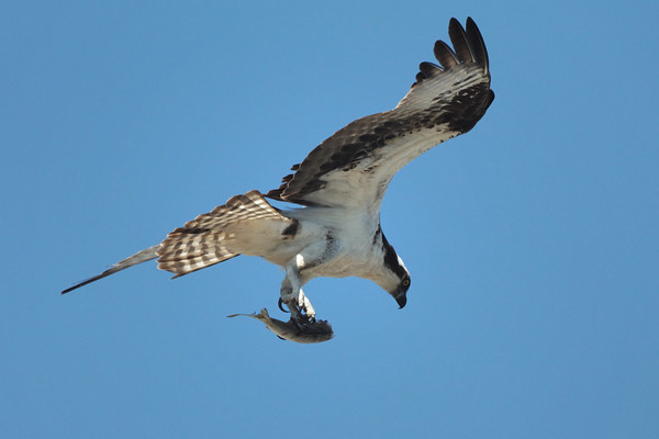 Interesting behavior here in Wellfleet - one of the young brings a fish to the nest where the other sibling is waiting. After they eat for a short while the same osprey picks up the fish and flies away, doing a loop around the harbor, then returns to the nest. They did this half a dozen times this morning. 8/27/2010 - IMG_7868dK