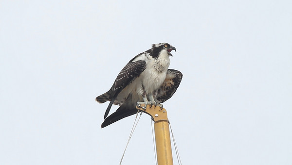 Osprey video, Wellfleet, MA - loud mouth! 8/18/2010 - MVI_7768