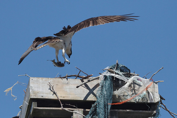 One of the two remaining ospreys in Wellfleet bringing a fish to the nest. 8/27/2010 - IMG_7838dK