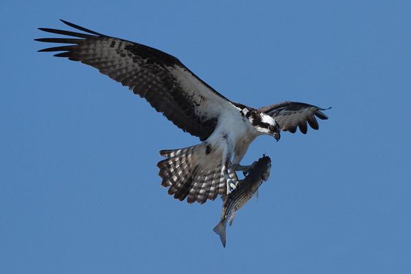 Adult osprey with a pretty good sized striper - 7/2/2010  IMG_4749_dK