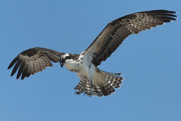 Osprey - 7/26/2010 - IMG_6342dK