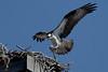 Osprey landing in the nest - 7/2/2010  IMG_4884_dK