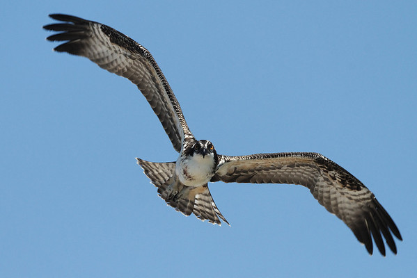 Osprey staring down the photographer - 7/26/2010 - IMG_6350dK