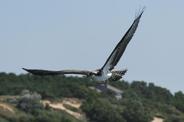 Osprey - soaring across Chipman Cove, Wellfleet - 7/26/2010 - IMG_6363dK