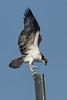 Osprey - it's tough to get a good grip on carbon fiber... 7/27/2010 - IMG_6523dK