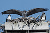 Osprey - symmetry - 7/22/2010 - IMG_5975dK