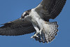 Osprey-  close up - 7/22/2010 - IMG_6038dK