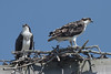 Osprey - lookouts - 7/25/2010 - IMG_6234_dK