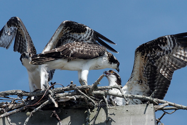 Osprey - three siblings stretching their wings - 7/25/2010 - IMG_6255dK
