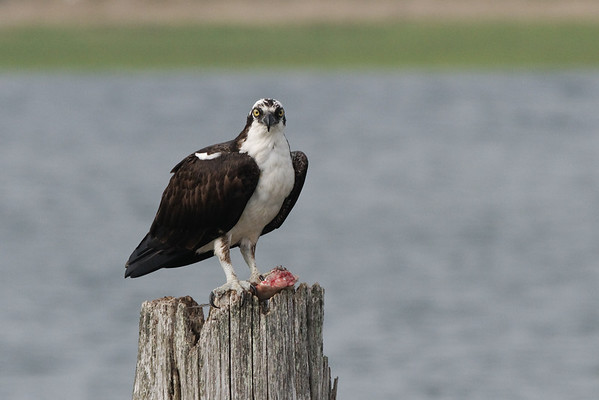 Getting the stink-eye from the osprey 6/3/10  IMG_3984_dK