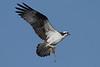 Osprey - More nesting material - 6/15/10 IMG_4226_dK