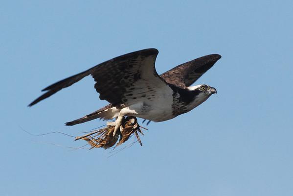 Osprey - More nesting material - 6/15/10 IMG_4199_dK