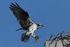 Osprey - More nesting material - 6/15/10 IMG_4207_dK