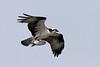 Osprey takeout 6/3/10  IMG_3964_dK
