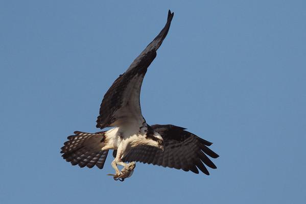 Osprey - 6/15/10 - IMG_4385_dK