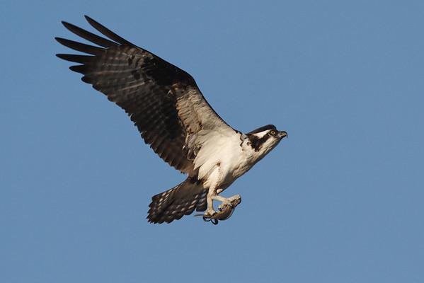 Osprey - 6/15/10 - IMG_4380_dK