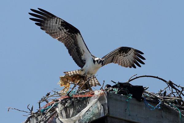 Osprey - More nesting material - 6/15/10 IMG_4314_dK