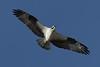 Osprey - 6/15/10 IMG_4250_dK