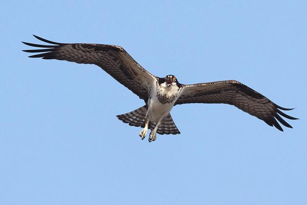 Osprey -  Wellfleet, MA  9/2/10 - IMG_8466dK