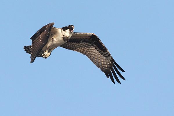 Osprey -  Wellfleet, MA  9/2/10 - IMG_8456dK
