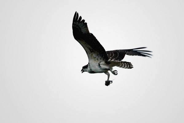 Bon Voyage, my friend. As of 9/10/2010 it appears that the last of the Wellfleet ospreys has headed south - there has been no activity in the nest since right after Earl. This season has been great fun and we look forward to 2011 and the next family of these magnificent birds.
