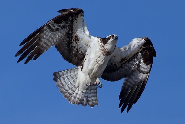Wellfleet Osprey - April 15, 2011