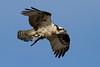 Wellfleet Osprey - April 14, 2011