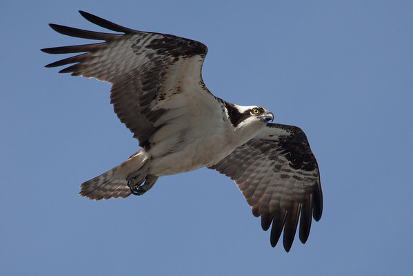 Wellfleet Osprey - April 15, 2011