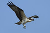 The young ospreys here in Wellfleet seem to be growing very fast and they are already accomplished hunters. July 21,2011