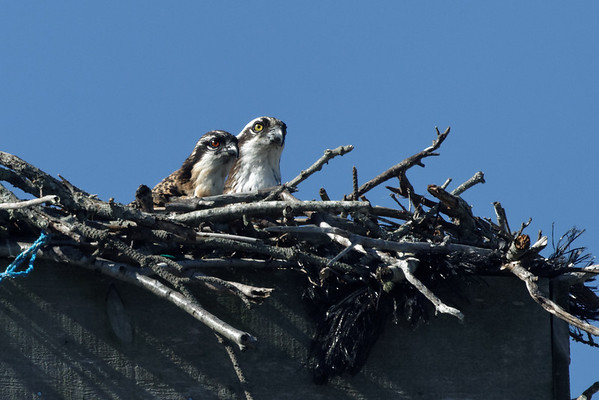 Wellfleet osprey - June 27, 2011 - family portrait. Note the red color of the young osprey's eyes - this will change to yellow as it matures.