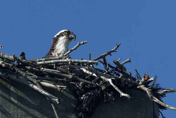 Wellfleet osprey adult - June 27, 2011