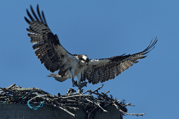 Wellfleet osprey - June 27, 2011 - more nesting material. It must be getting crowded in there with two adults and three young!