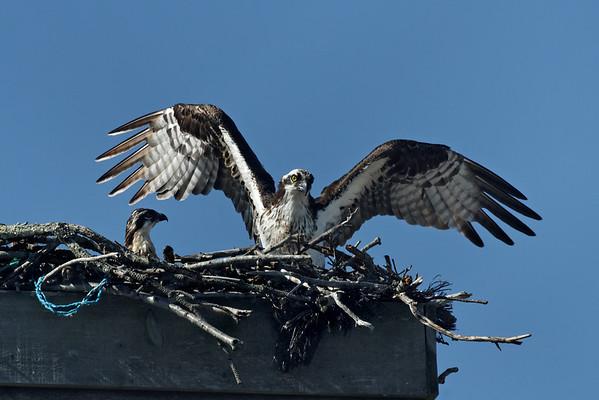 Wellfleet osprey - June 27, 2011.