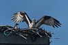 Wellfleet osprey - June 27, 2011.