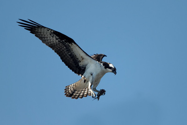 Wellfleet osprey - June 27, 2011 - bringing the catch back to the nest.