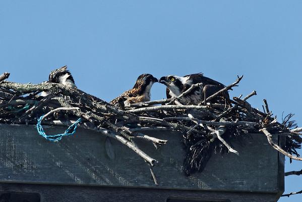 Wellfleet osprey - June 27, 2011 - feeding time.