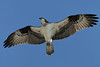 Wellfleet Osprey - May 6, 2011