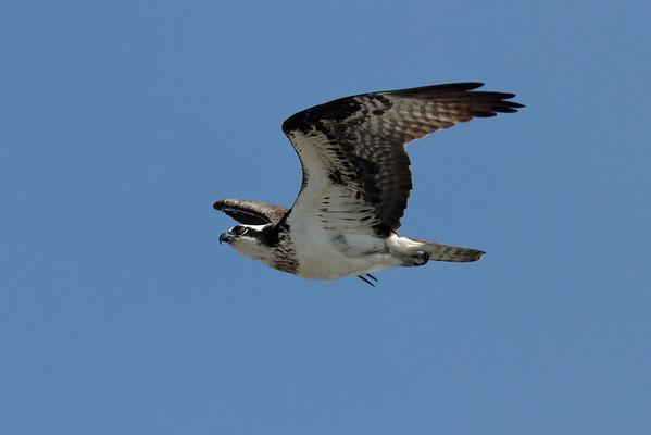 Wellfleet Osprey - May 6, 2011
