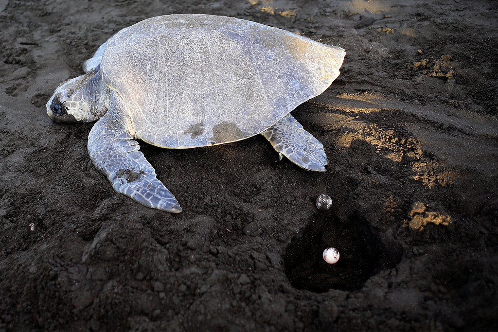 A turtle crawls past an open nest, with eggs laying inside. A turtle will lay about 100 eggs in a nest.