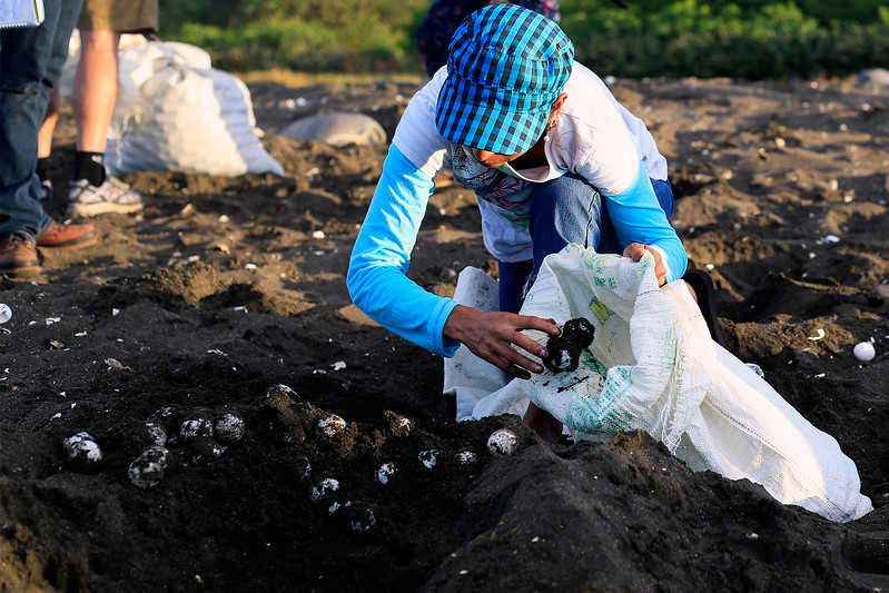 A worker with the Ostional Integral Development Association, ADIO, throws sea turtle eggs into a collection sack.