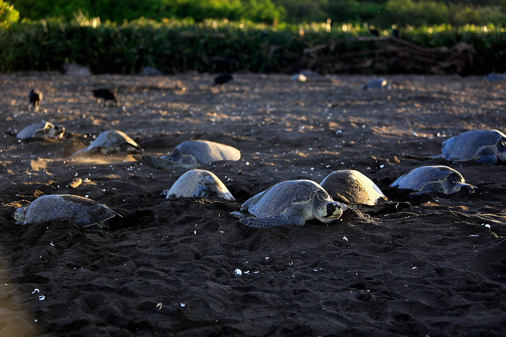 More than 8,000 Olive Ridley sea turtles arrive at Playa Ostional, Friday. During an arribada Olive Ridleys arrive en masse for nesting over a five-nine day period, overwhelming potential predators by sheer numbers.