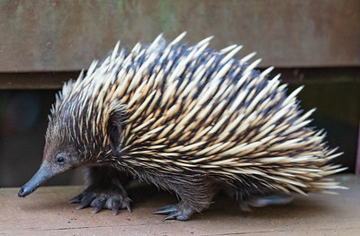 Short-Beaked Echidna - spiny anteater (Tachyglossus aculeatus)