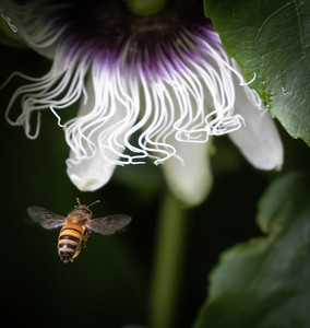 Bee and Passionfruit flower (Passiflora)