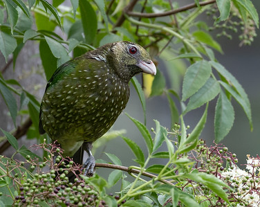Green Catbird (Ailuredus crassirostris)