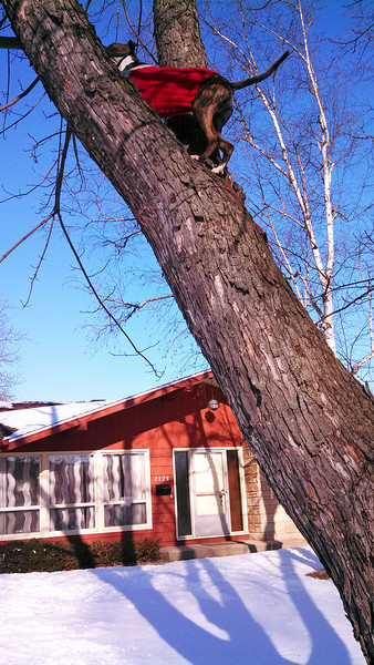 Bella climbed up a tree after a squirrel -- next photo shows the tree.