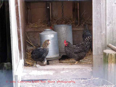 Garden and chicken coop