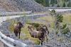 Mountain SheepIMG_5716-2