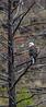 Bald Eagle_N5A3725